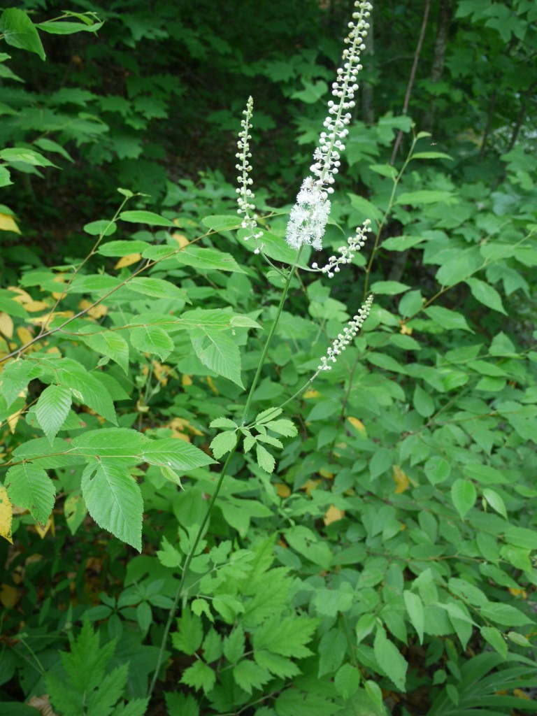 100711 Black cohosh #2 (closer)