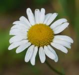 Oxeye daisy closeup