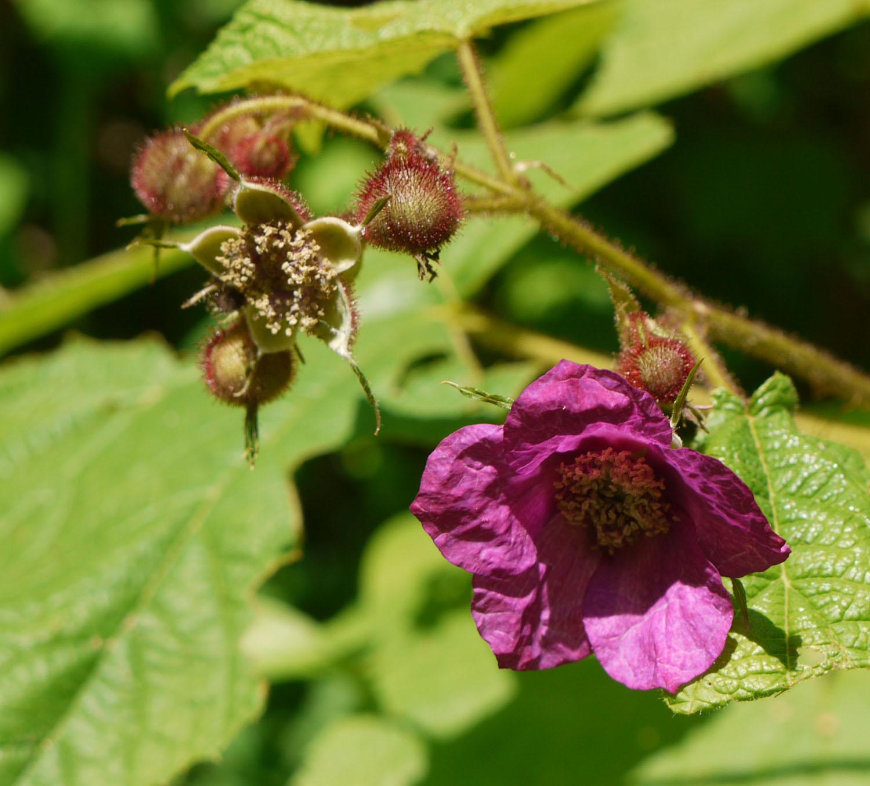 Purple-flowering raspberry