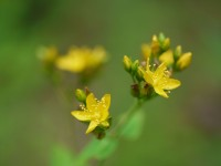 Spotted St. John's wort