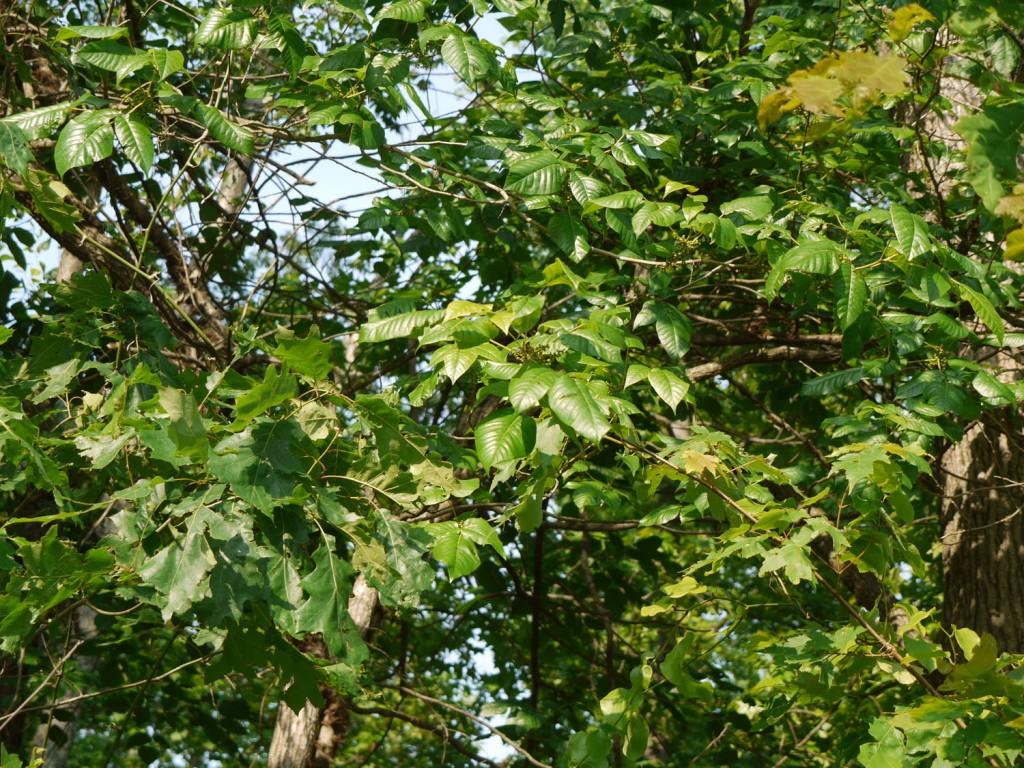 Poison ivy 6