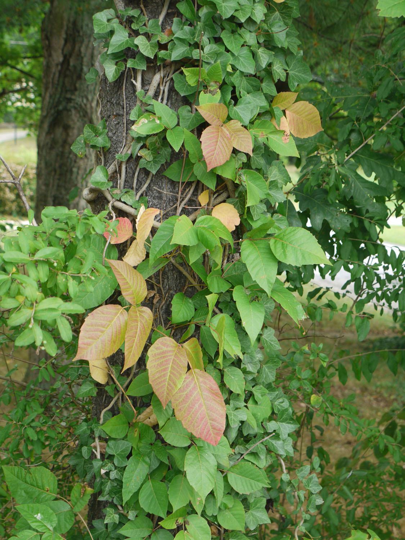 Poison ivy 8