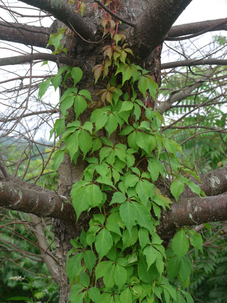 Virginia creeper 7