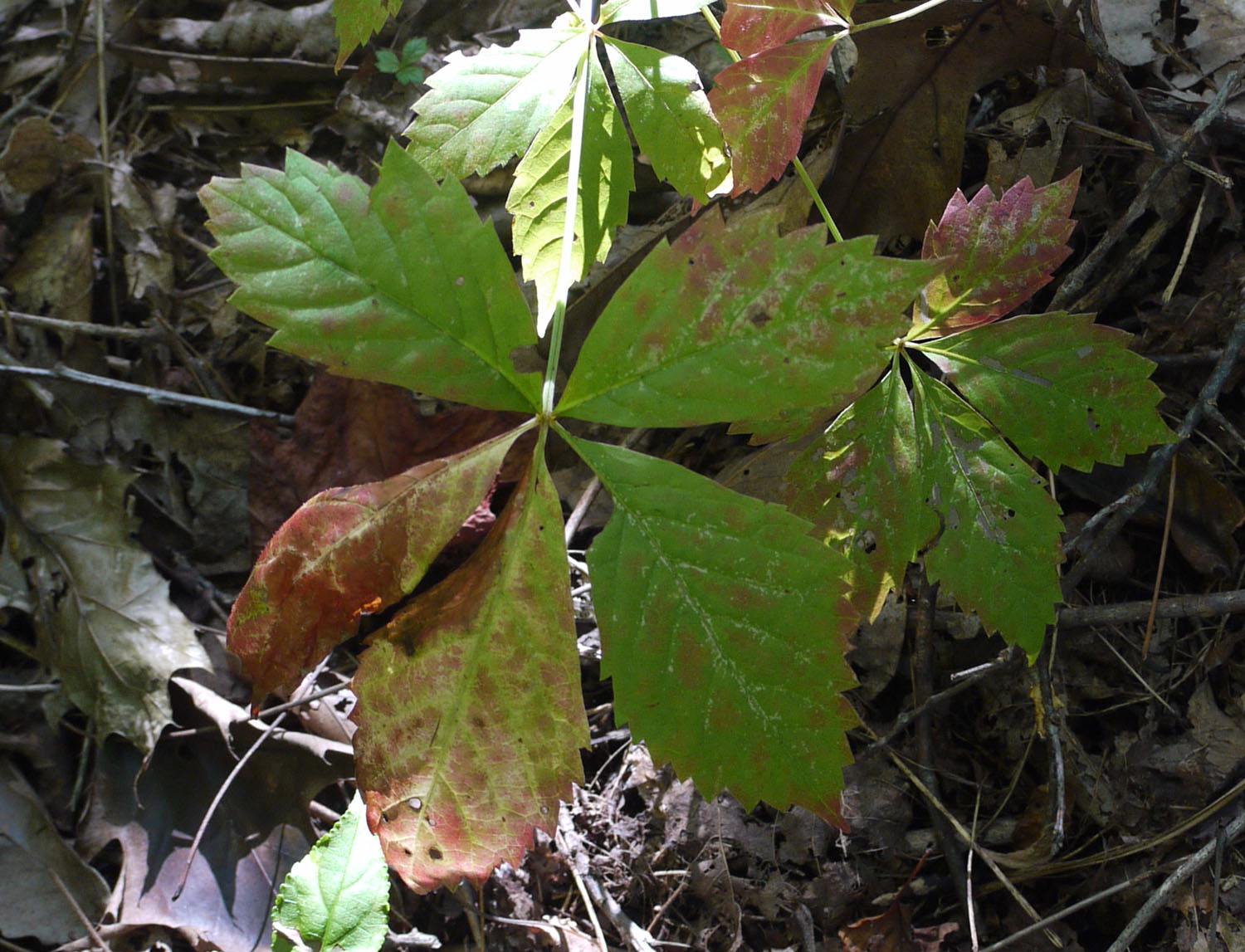 Virginia creeper 9