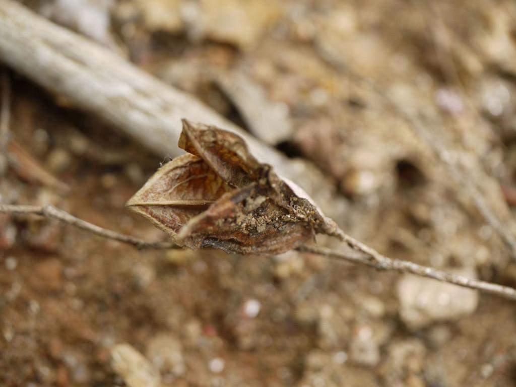 Sessile Leaf Bellwort Sessile Bellwort Uvularia