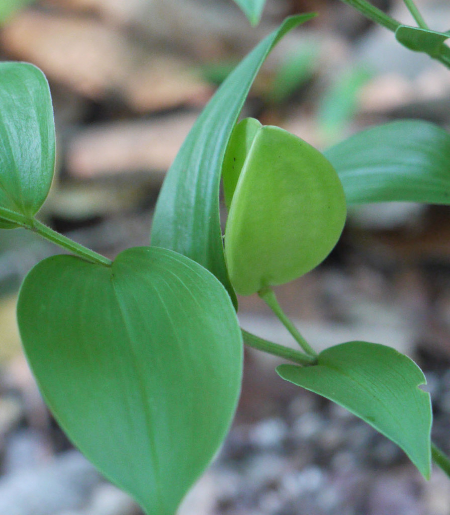 Mountain bellwort