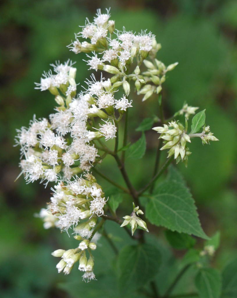 White Snakeroot And Boneset Identify That Plant