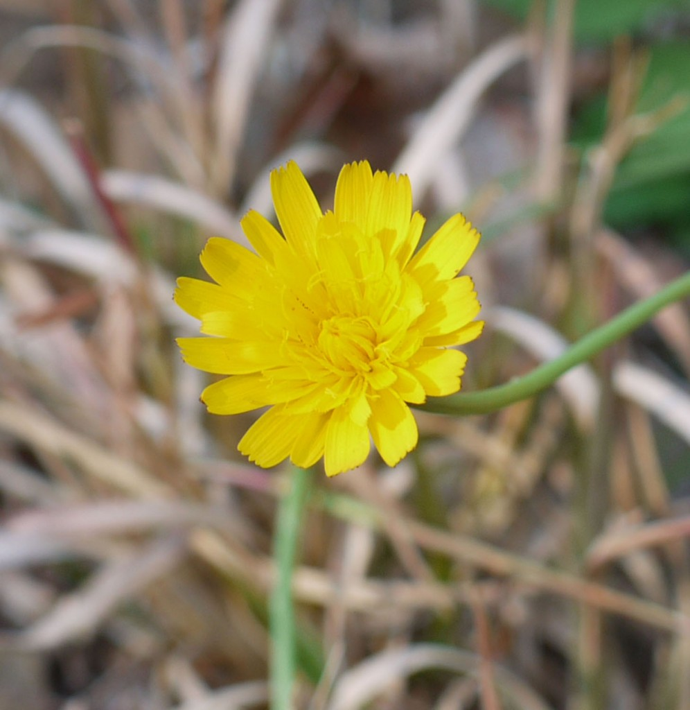 Dandelion and cats ear identify that plant cats ear which izmirmasajfo