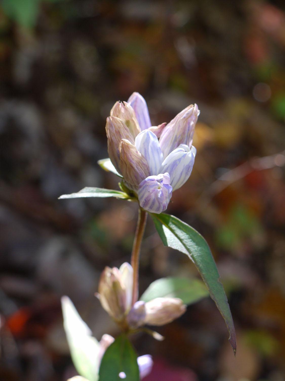 Soapwort gentian