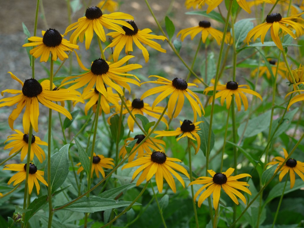 Rudbeckia Hirta And Laciniata Identify That Plant
