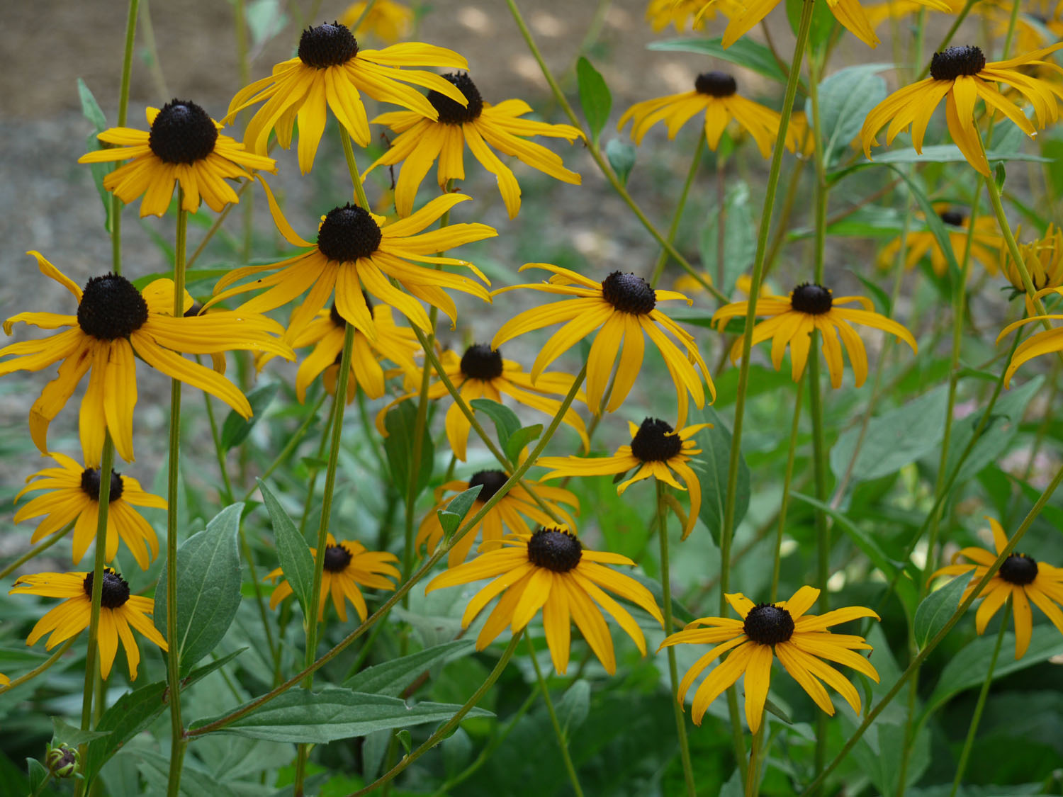 Black eyed susan identify that plant Black eyed susans