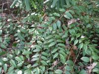 Mountain fetterbush