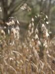 River oats