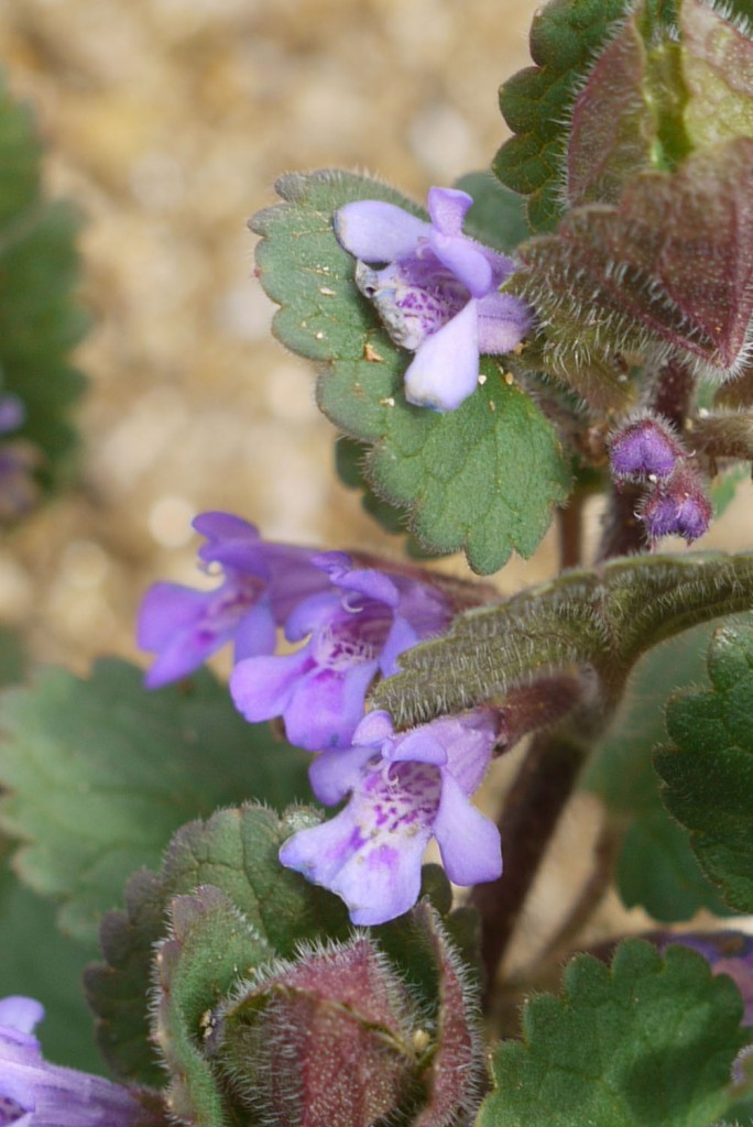 The Second Plant Is Another One Which Can Be Mistakenly Identified As Ground Ivy This Purple Dead Nettle Lamium Purpureum
