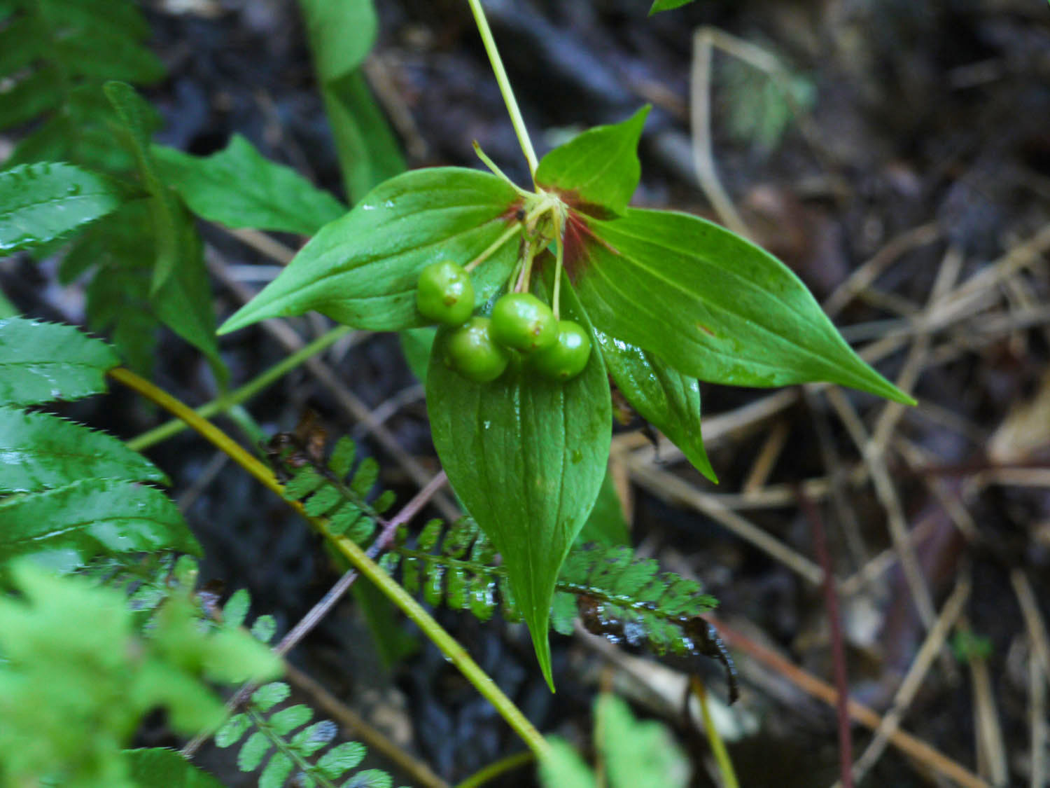 Indian cucumber root