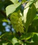 Eastern hophornbeam