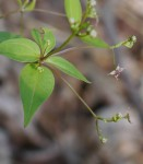 Lance-leaved wild licorice