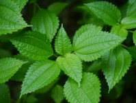 Clearweed