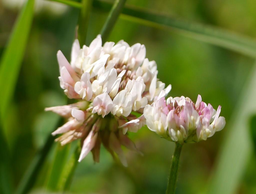 White clover