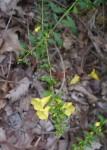 Appalachian oak leach
