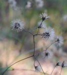 Panicled hawkweed