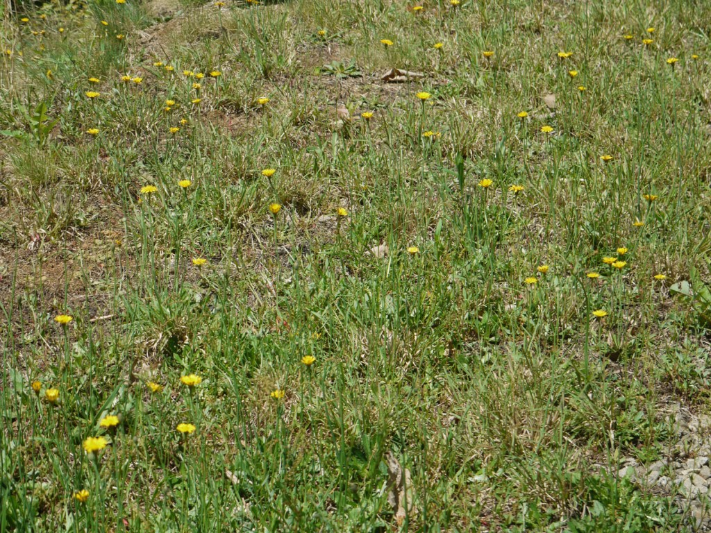 Yellow Field Flowers Identify That Plant
