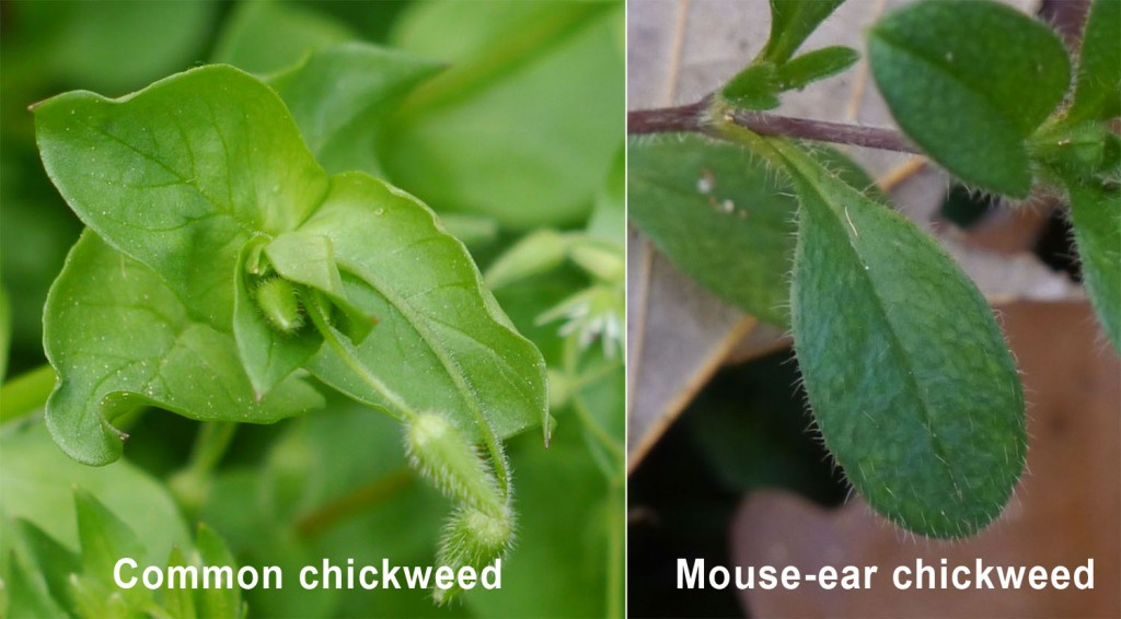Common and mouse-ear chickweed