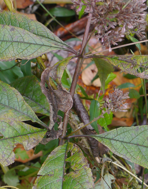 Joe-pye weed | Identify that Plant