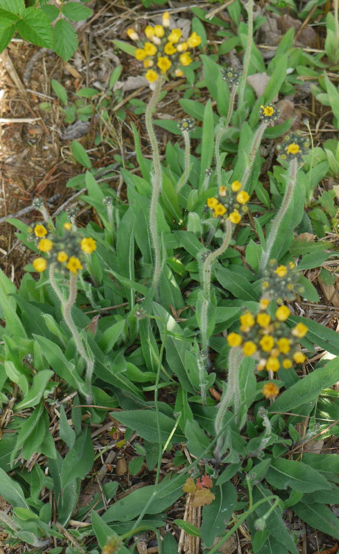 Meadow hawkweed