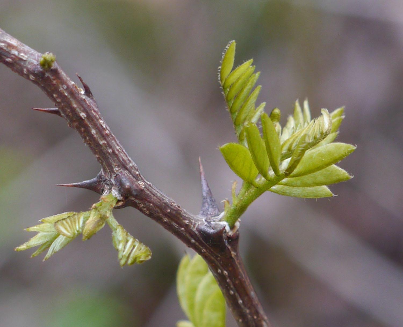 Black locust