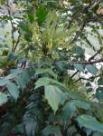 Leatherleaf mahonia