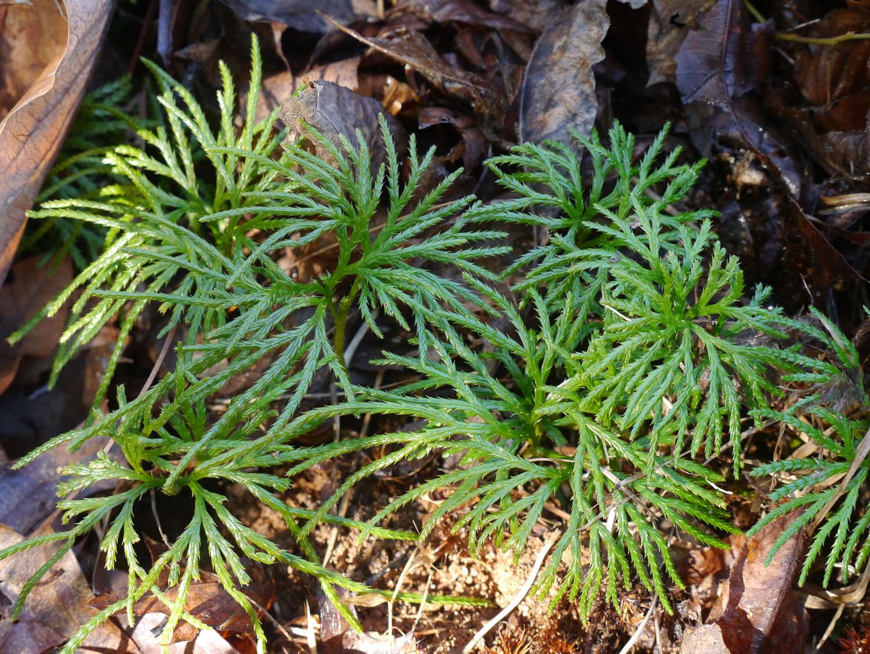 Running cedar identify that plant