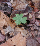 Broad-leaved waterleaf