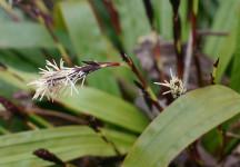 Plantain-leaf sedge