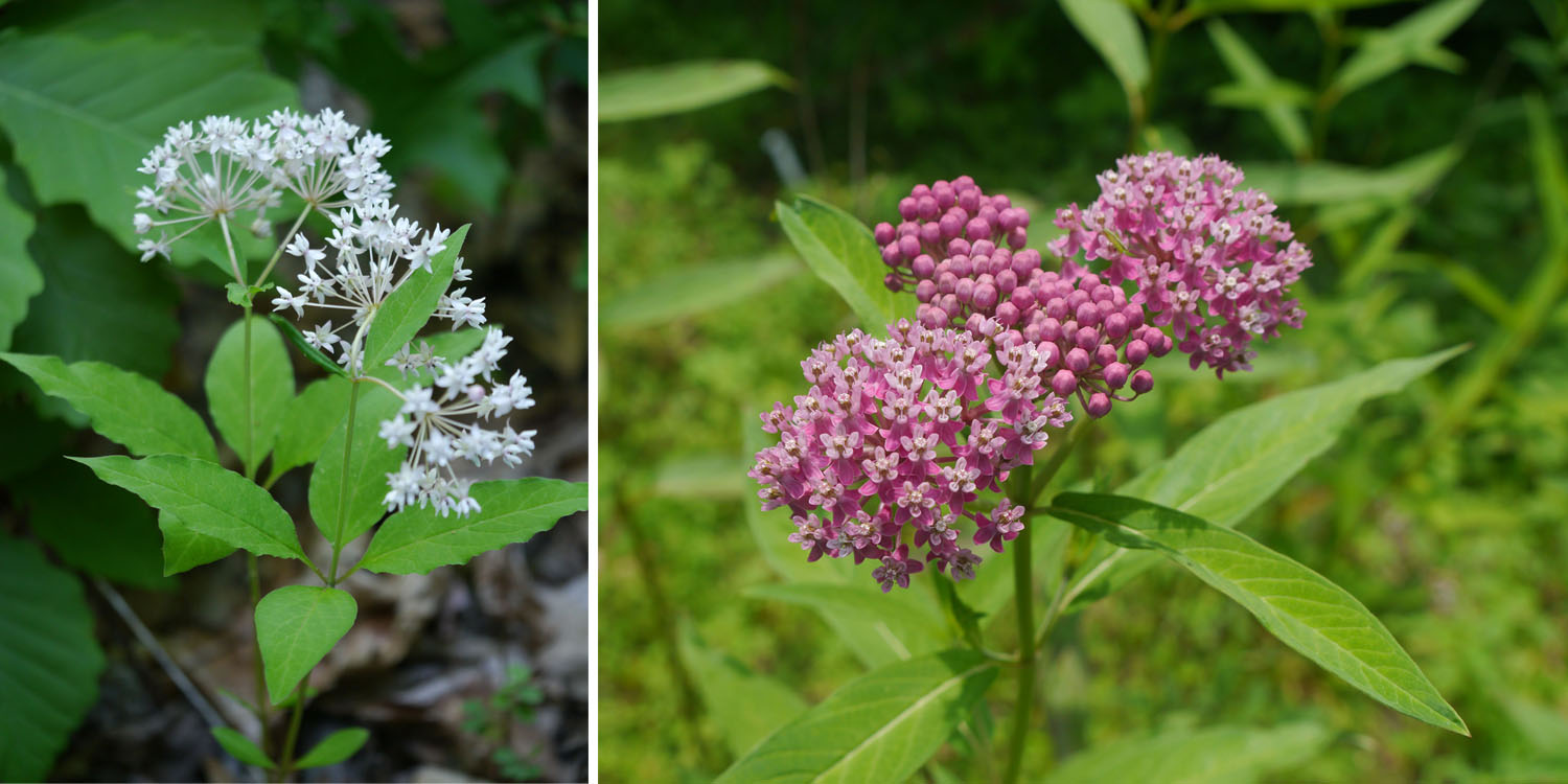 Four-leaved and Swamp milkweed