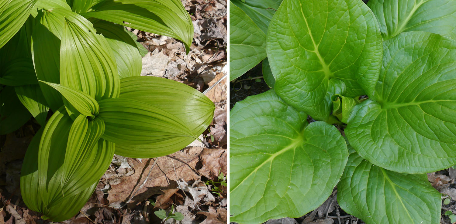 Green false hellebore and skunk cabbage