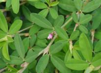 Japanese clover