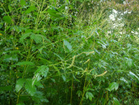 Great ragweed