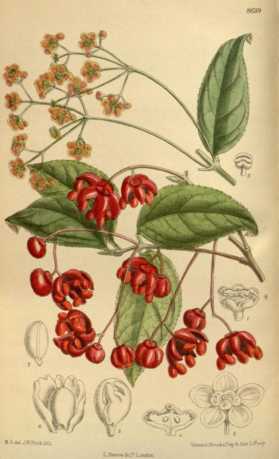 Euonymus oxyphyllus illustration