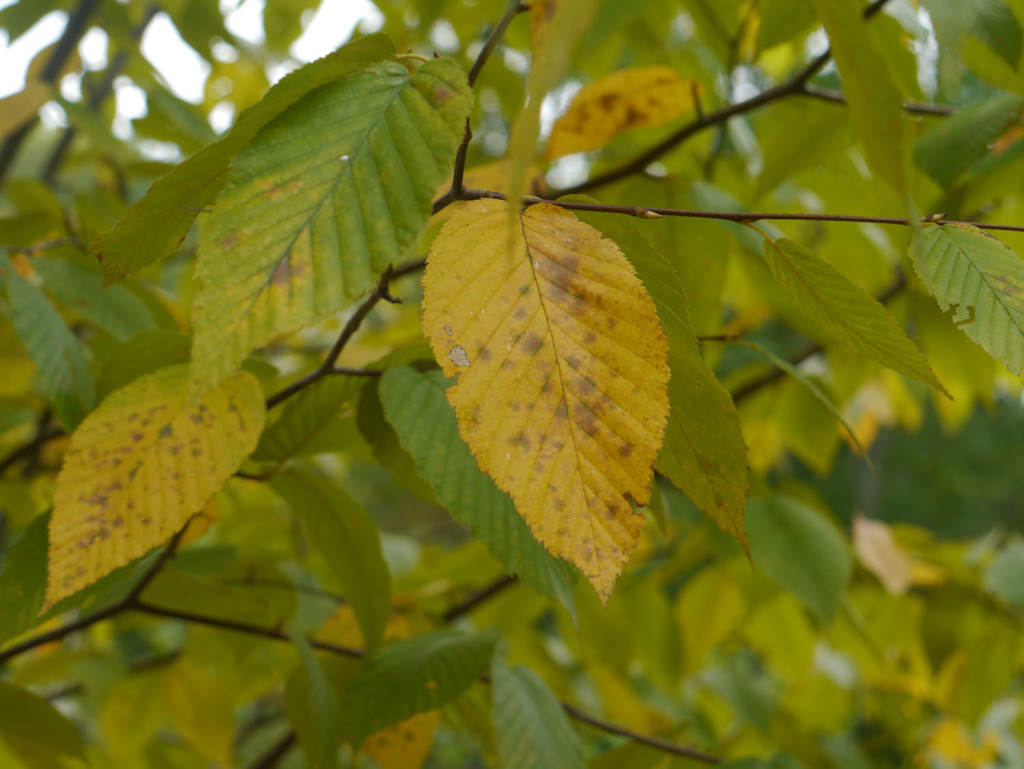 Yellow birch | Identif...