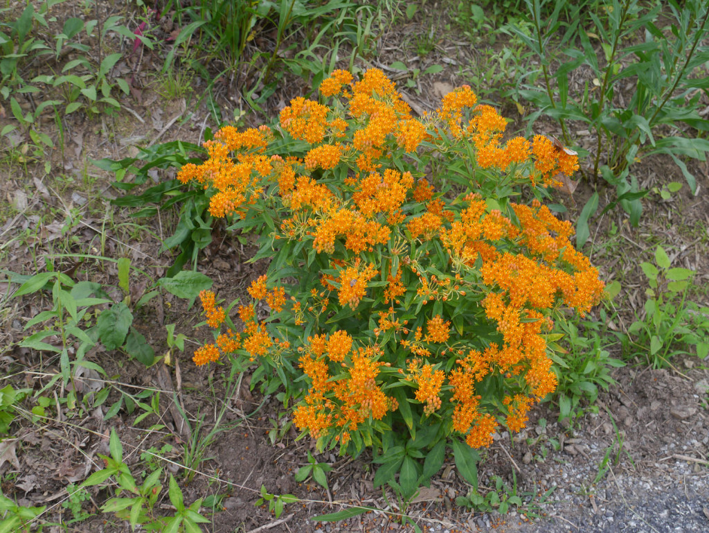 Erfly Weed Ascelpias Rosa Displays Beautiful Orange Flowers During Summer Months The Flower Color Ranges From A Strong Red Through