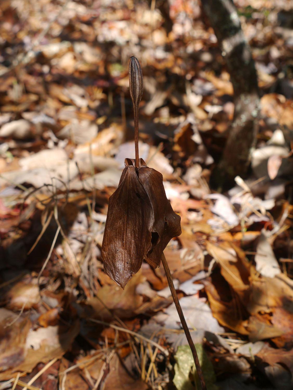 Large whorled pogonia