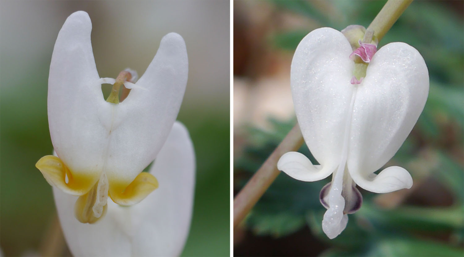 Dutchman's breeches and Squirrel corn