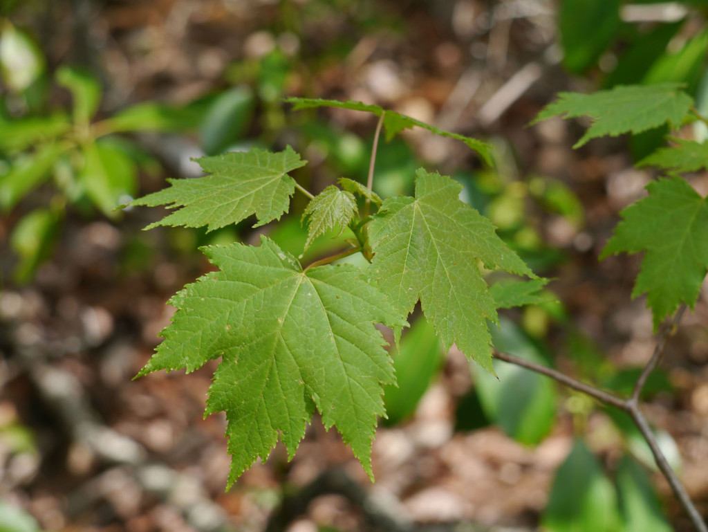 Red maple (Acer rubrum) | Identify that Plant