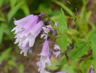 Small's beardtongue