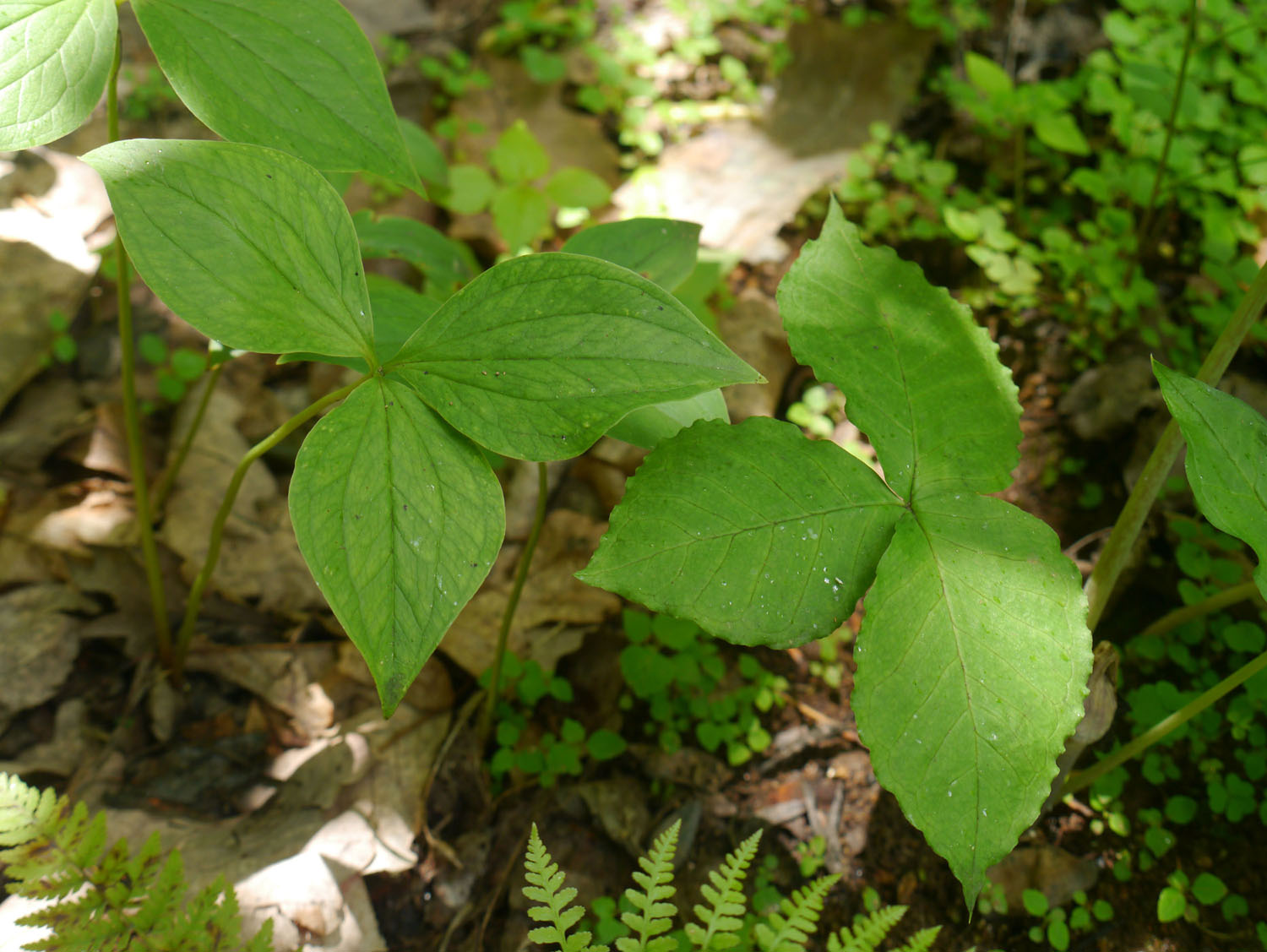 Trillium and jack-in-the-pulpit