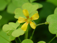 Great yellow wood sorrel