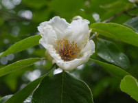 Mountain stewartia