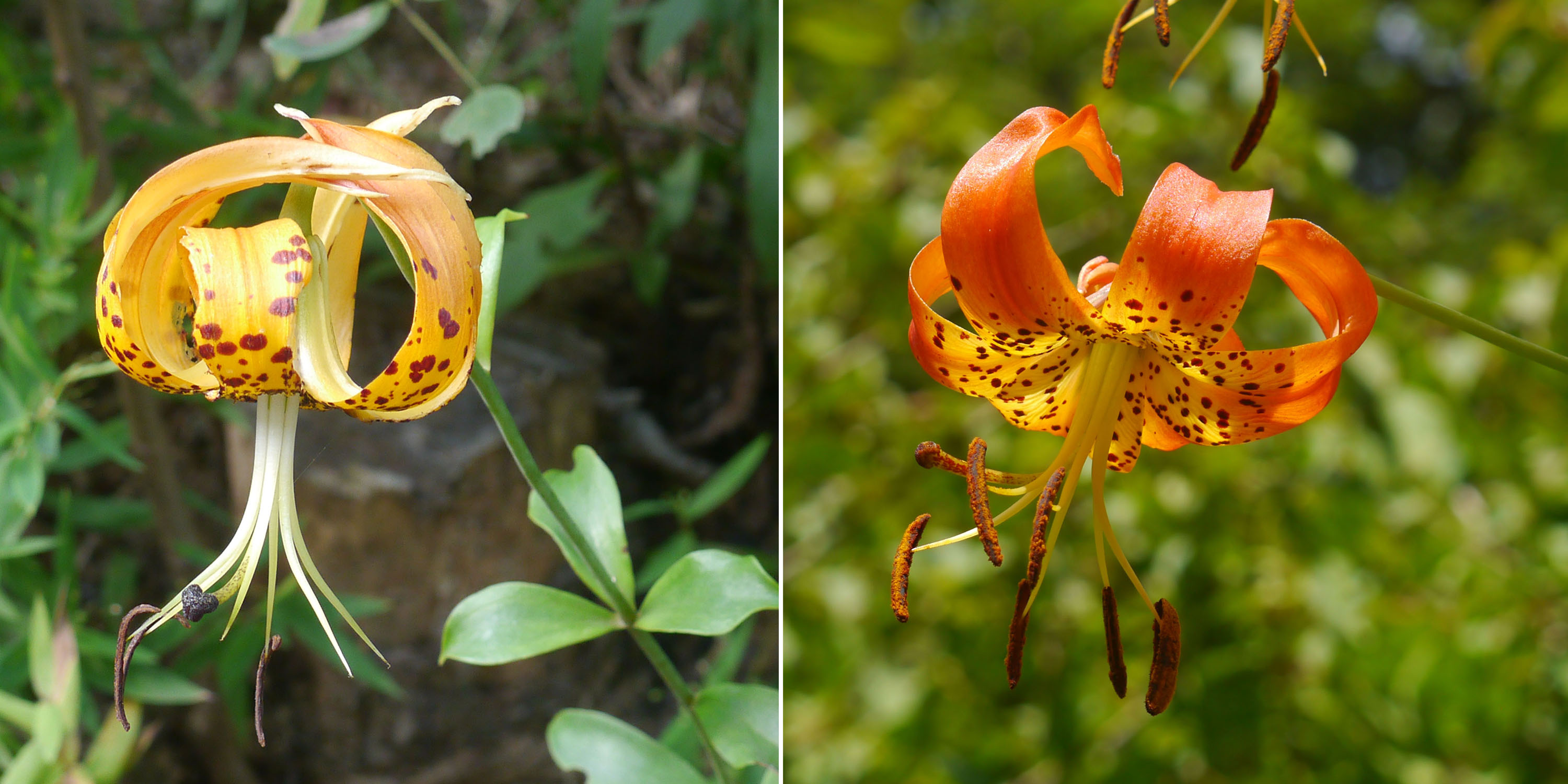 Carolina lily and Turk's cap lily