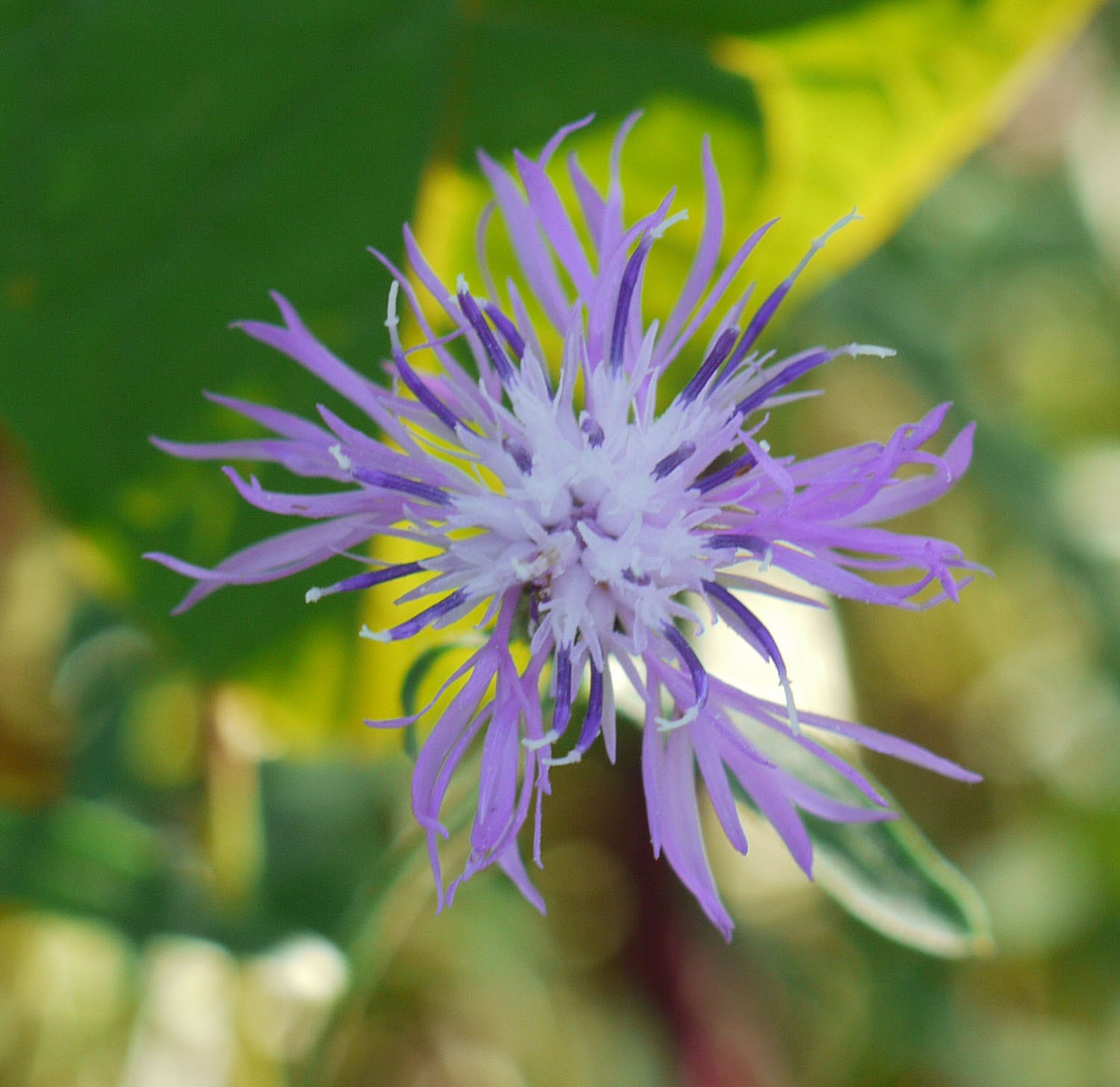 Spotted knapweed closeup